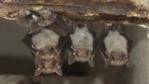 Greater mouse-eared bat and Natterer&#039;s bat roosting