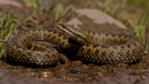 Close-up of a female adder&#039;s head