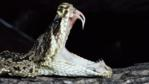 Eastern diamondback rattlesnake with mouth open showing fangs