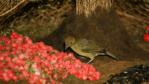 A male Vogelkop gardener bowerbird tending his bower to attract a mate