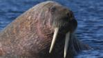 Walrus with lower half submerged in water