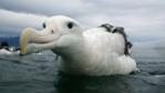 Wandering albatross in the water