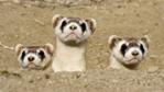 Three black-footed ferrets peer out of their burrow