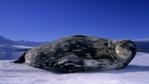 Weddell seal lying on the ice