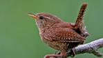 Wren perching on a branch (c) Gray Clements