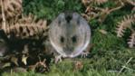 Wood mouse on woodland floor