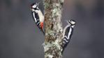 Male and female great spotted woodpeckers in winter