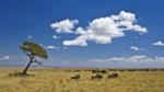 Common wildebeest on plains during migration, Masai Mara, Kenya, Africa 