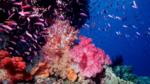 A Great Barrier Reef soft coral seascape with fairy basslets pixie pinnacle and ribbon reefs, Australia
