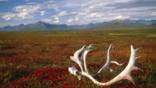 Discarded antlers lie on the Alaskan plains