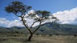 Acacia tree and dry scrubland in Tanzania