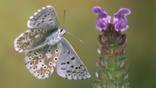 Adonis blue butterfly in flight