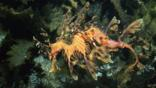 A male leafy sea dragon with eggs