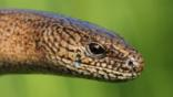 Close-up of a slow worm&#039;s head