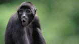 Spider monkey calling