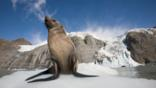 A fur seal in the snow