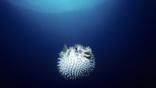 Black-blotched porcupinefish has inflated its body while swimming
