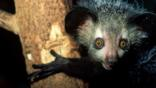 An aye-aye holding on to a tree