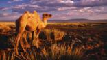 Bactrian camel walking in the desert