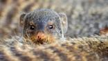 One banded mongoose peers over the back of another