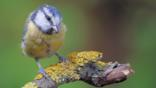 Blue tit landing on a tree branch