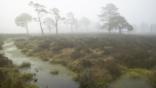 A Scottish bog woodland in dawn mist