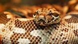 Close up on the head of a Dumeril's boa