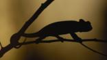 Silhouette of an Oustalet&#039;s chameleon