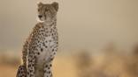 A sitting female cheetah looking alert