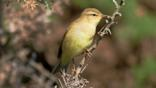 Chiffchaff perched on a thorn plant (c) Tim Donovan