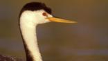 Profile of Clark&#039;s grebe
