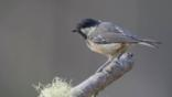 Coal tit perched on a branch