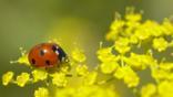Seven-spot ladybird on fennel flowers