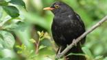 Blackbird perched on a branch (c) Elle Lee