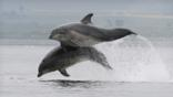 Two bottlenose dolphins breaching (c) Alister Kemp