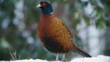 Common pheasant standing in snow