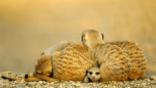 Young meerkat peering out from under a resting group of adults