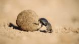 Female dung beetle rolling a buffalo dung ball