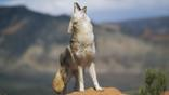 Coyote howling from high point on red sandstone