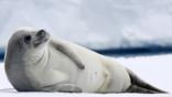 A crabeater seal lying on ice