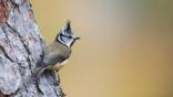 Crested tit perched on a tree trunk (c) Nichola Knight