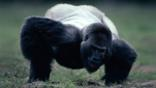 Male western lowland gorilla reaching for soil to eat