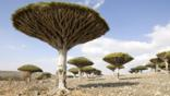 A group of dragon&#039;s blood trees