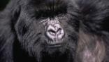 Close-up showing the facial detail of a male mountain gorilla