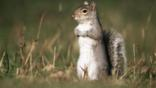 Grey squirrel standing up on its hind legs
