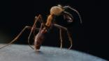 Army ant soldier showing large jaws