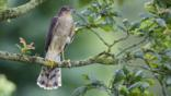 A female sparrowhawk perched on the branch of an oak tree