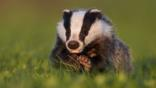 Badger cub in evening light