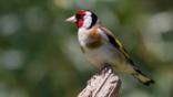 Goldfinch perching on almond tree in winter