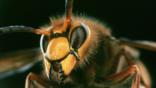 Close up of a European hornet